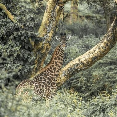Find the Giraffe
