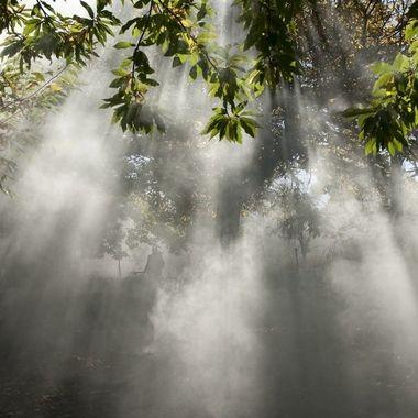 En la Sierra de Francia (Spain),con abundantes arboles caducifolio, se rastrillan las hojas, se amontonan y se queman.El sol entre los arboles y el humo produce este efecto