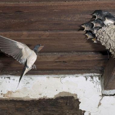 Nido de Golondrina comun (Hyrundo rustica), en el interior de una casa deshabitada de un pueblo de montaña