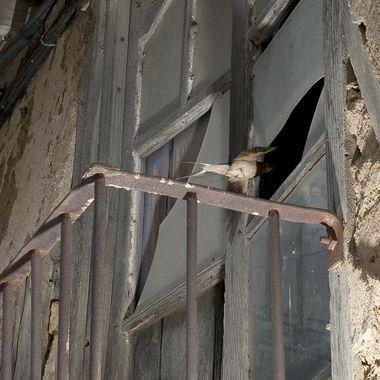 Golondrina comun (Hyrundo rustica), accediendo al interior de una casa deshabitada donde tiene el nido. La unica forma de entrar es por el roto del cristal