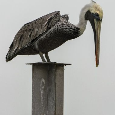 A Port Aransas pelican perched on a pylon looking for lunch.