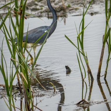 A heron wading through a marsh area looking for a meal