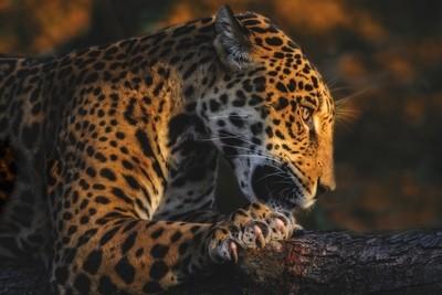 Jaguar Cult