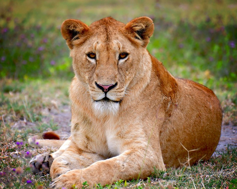 Riffel Africa Lion 7075