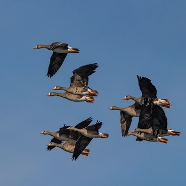 Greater White-Fronted Geese -1633