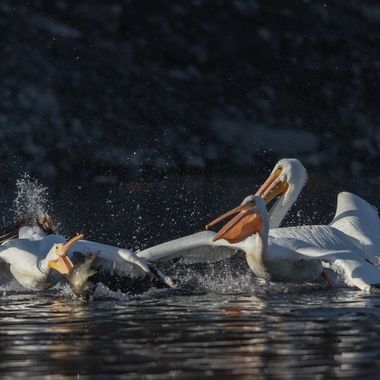 """My opinion is that the white pelicans are more like """"parasites"""" taking and robbing  fish from the cormorants."""