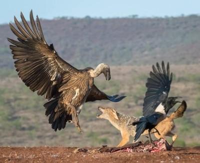 Spat between Jackal & Vulture