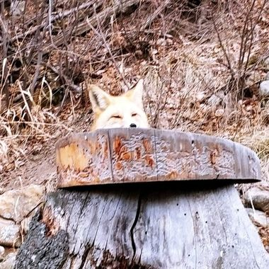 Foxy would hide behind the treestump when I told her I was letting the dog out! Hahaha