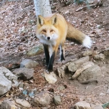 Foxy is my resident fox. She comes and hangs out with me doing yard work and taking pictures. We'll have a snack and off she goes.