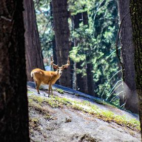 We were wandering through the woods of Sequoia National Park in hopes of spotting a bear. Silently moving along, we were instead joined by this b...