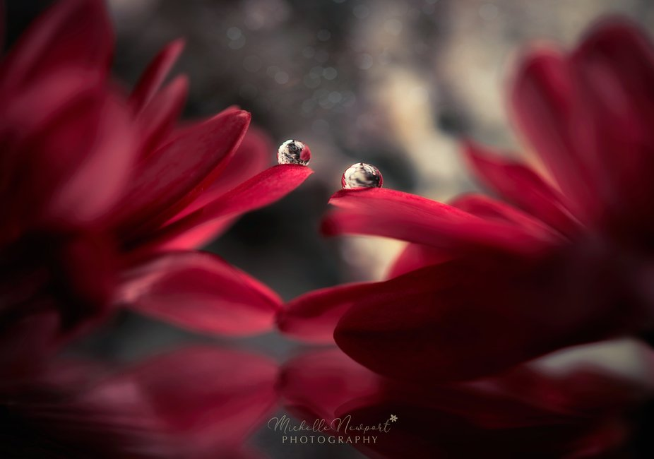 A fine art macro photography image of beautiful water drop refractions on flower petals.