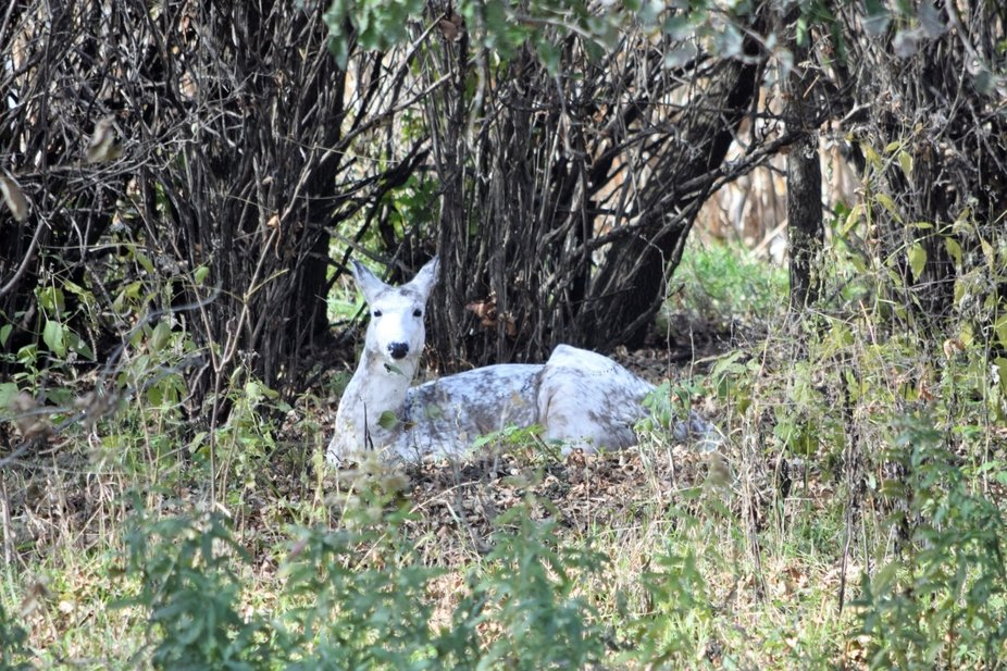 """A rare genetic occurrence, and only in white tailed deer, she's one of a kind in our area.  Runs with a herd of """"normal"""" white tail does that seem to protect her and support her."""