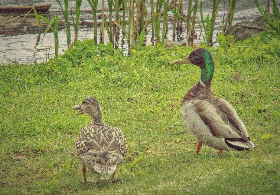 Mallard ducks at Brewery Bay