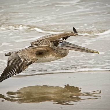 A brown pelican on a low pass down the beach on a foggy Sourth Padre Island afternoon.