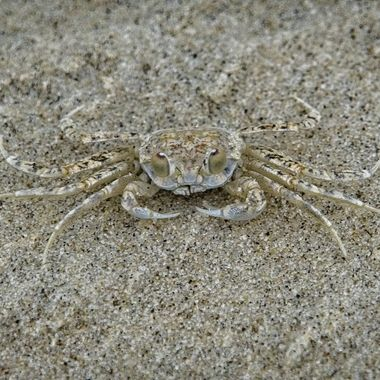 A  tiny ghost crab trying to look invisible on  the beach at South Padre Island, Texas