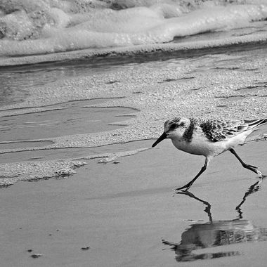 A South Padre Island shorebird running along the surf line looking for snacks.