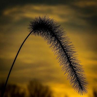 Foxtail grass at sunset.  #trailsend #sunset #lastlight #foxtailgrass #wander #outthebackdoor #backyardnature #canon_photos #canonglobal #sunset_vision #best_skyview #got_greatshots #ig_eternity #ethereal_moods #lensloves_nature #naturyst #pocket_allnatur