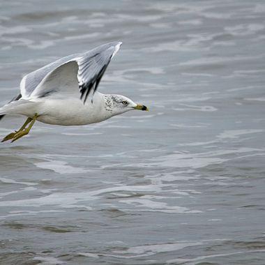 A seagull cruising the waves along a South Padre Island Seashore beach