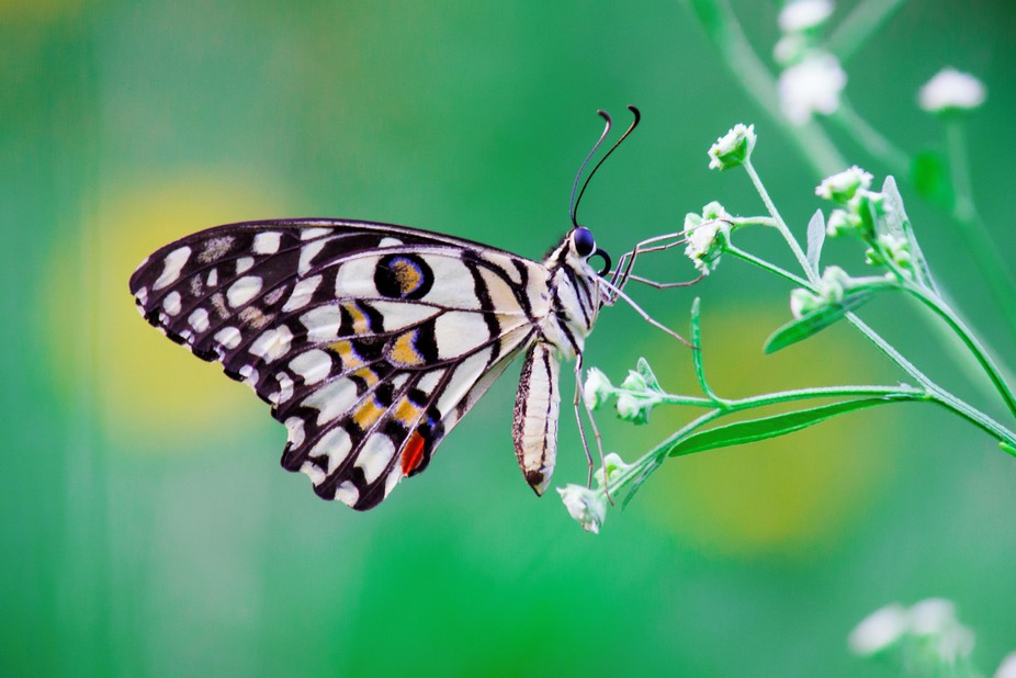 Papilio demoleus is a common and widespread swallowtail butterfly. The butterfly is also known as...