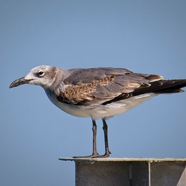 A seagull scanning the harbor for potential action in Port Aransas, Texas