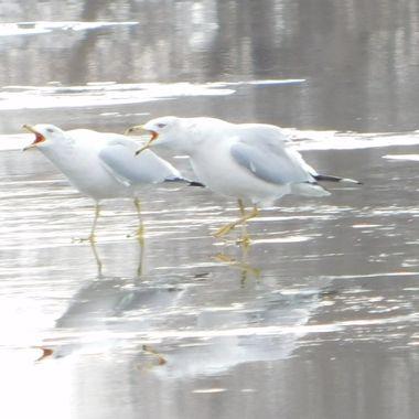 Squawking Gulls on Ice
