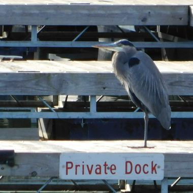 Heron claims his dock