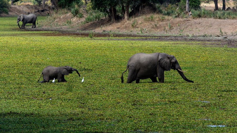 Mother and calf crossing a pond in Zambia