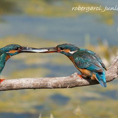 Pareja de Martin pescador (Alcedo atthis) en celo.El macho pesca para la hembra para que acceda a la copula.