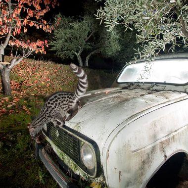 Gineta (Genetta genetta) sobre viejo automovil abandonado en el campo, que utiliza como letrina