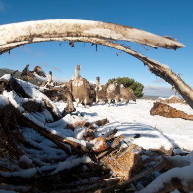 Buitres comunes o leonados (Gyp fulvus) en un comedero para rapaces. Camara en el suelo accionada con mando a distancia desde un hide.