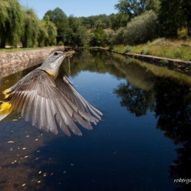 Lavandera cascadeña (Motacilla cinerea) en vuelo hacia el nido. Realizada con barrera de IR y cuatro flashes a 1/16