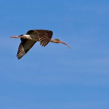 A lone ibis headed north near Port Aransas, Texas