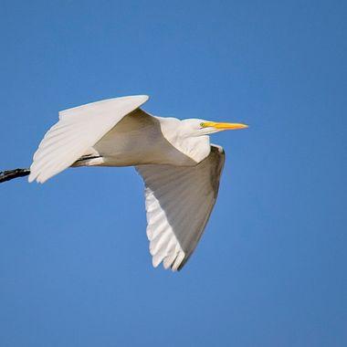 A great egret headed north over a Port Aransas wildlife preserve