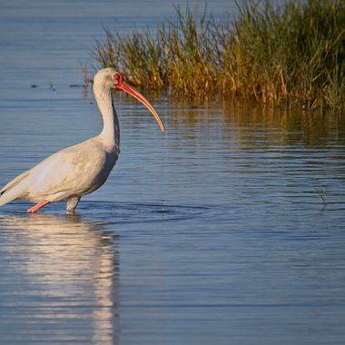 A large white ibis searching the edge of the reeds for dinner at a nature preserve in Port Aransas, Texas