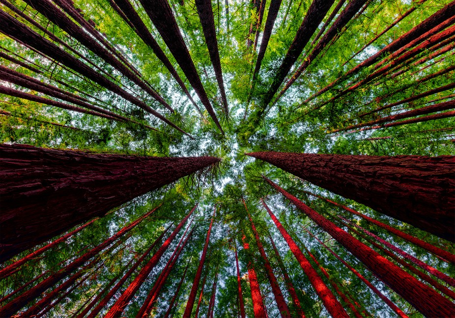 hese redwoods are mere babies compared to the Californian monoliths, yet still impressive and a w...
