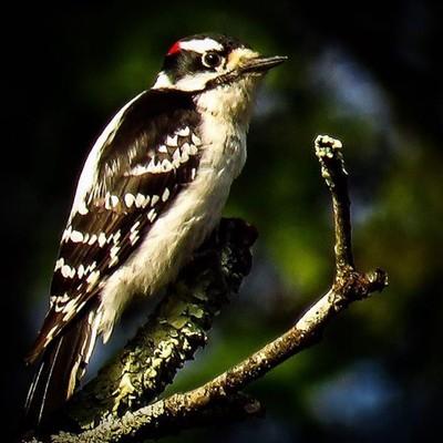 Male Downy Woodpecker.  #trailsend #downywoodpecker #birding #birdwatching #birdphotography #outthebackdoor #backyardnature #canon_photos #canonphotography #best_birds_of_world #birdbrilliance #mybirdwatch #pocket_birds #raw_birds #best_birds_of_ig #got_g