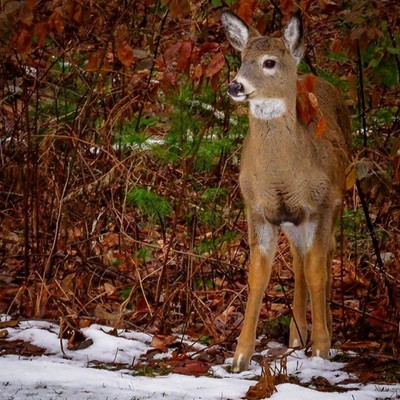 Young Whitetail button buck.  #trailsend #whitetail #deer #buttonbuck #wildlifephotography #outthebackdoor #backyardnature #canon_photos #canonglobal #canonphotography #got_greatshots #featured_wildlife #planetuntamed #pocket_animal #raw_allnature #ig_ani