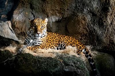 Rembrandt Jaguar