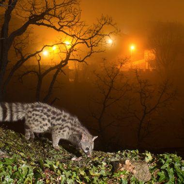 Gineta (Genetta genetta), cerca del pueblo en una noche de niebla. Barrera de IR y tres flashes. La Alberca (Sierra de Francia-Spain) Tengo una foto parecida pero sin niebla.