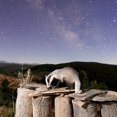 Tejon ((meles meles) en libertad,subido en unas viejas colmenas de abejas en una noche de luna al 45% y con el centro galactico. Me costo tres meses hacer esta foto.