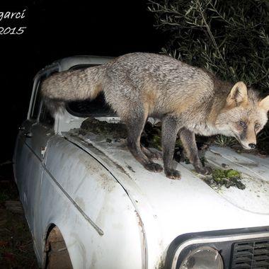 Zorro comun (Vulpes vulpes), en libertad, sobre un viejo coche abandonado en el monte, al que se sube atraido por el cebo que le pongo.