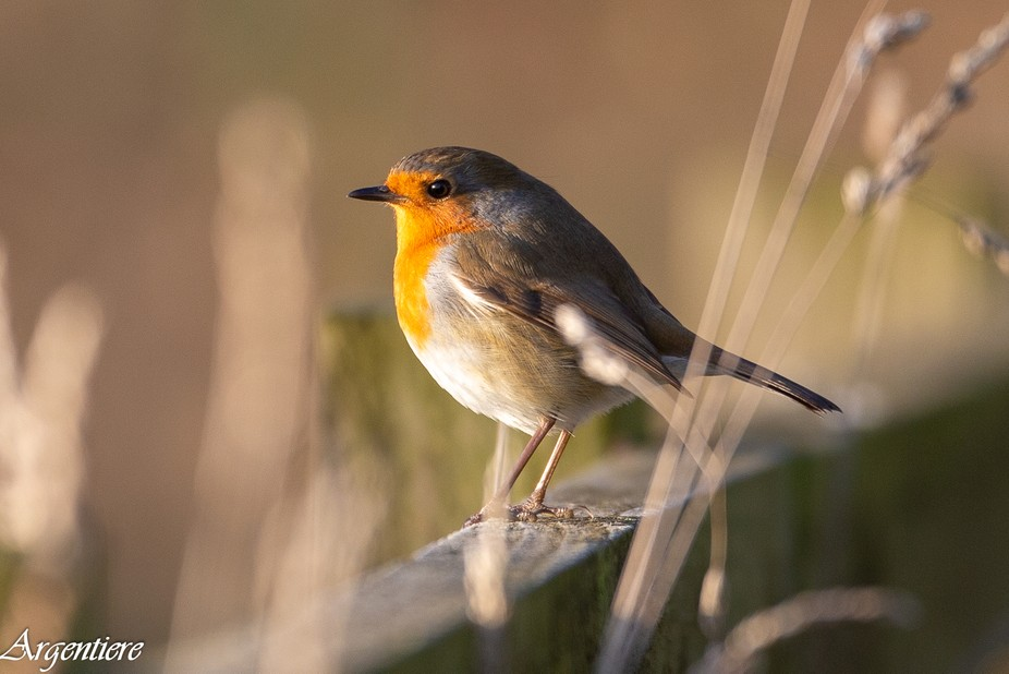 That time of year, annual robin photo required