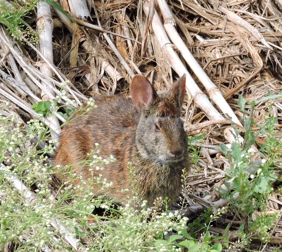 Muck Rabbit
