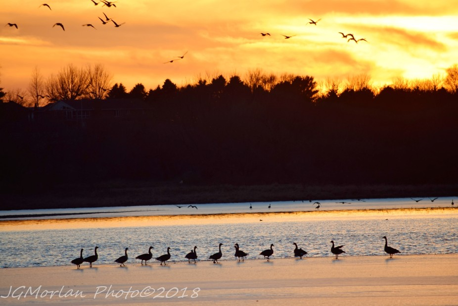 Geese, both on the ice and in the sky, out at the lake.