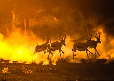 Springboks on the run