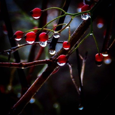Multiflora Rose hips on another rainy day.  #trailsend #multiflorarose #rosehip #rainyday #raindrops #wander #outthebackdoor #backyardnature #canon_photos #canonglobal #got_greatshots #ig_eternity #zonephotographer #lensloves_nature #naturyst #ethereal_mo