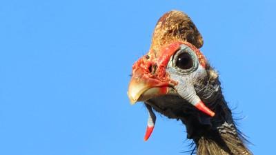 Helmeted Guineafowl 2