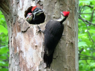 Pileated woodpecker feeding her young