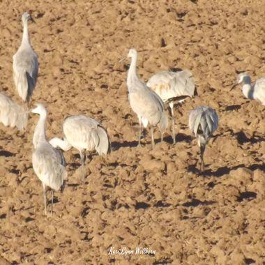 Sandhill Cranes enjoying the day
