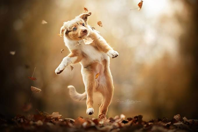Flying puppy by Dackelpup - Dogs In Action Photo Contest